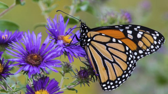 Migrating monarch butterflies are hardwired to seek nectar from late-blooming perennials, such as aster.