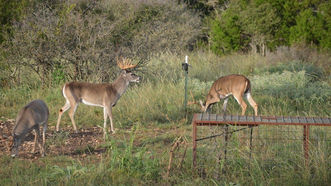 Three ages of bucks feed in the late afternoon one day last August on Camp Verde Ranch. Efforts at management of the ranch have been going on in hopes of producing more trophy bucks and whitetails down the road.