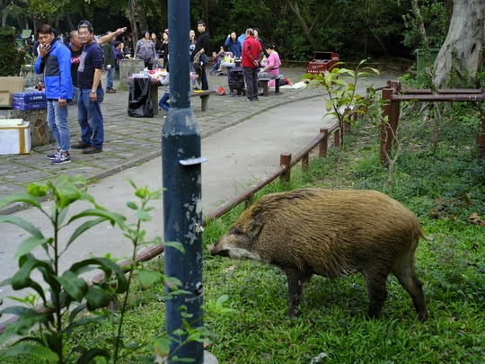 A wild boar scavenges for food while local residents watch at a Country Park in Hong Kong.