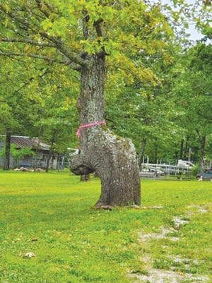 The tree is believed to be an Indian Marker tree. It's location and characteristic shape indicates the tree was a marker for an Osage Indian grave.