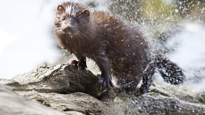 Stock photo of a mink. This is not a photo of the Webster mink.