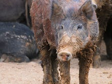Feral pigs scattered in New Mexico as removal continues in rural areas