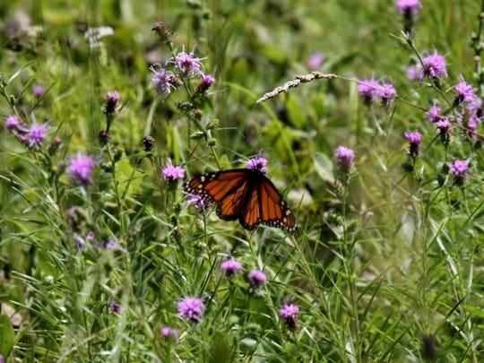 A monarch butterfly pauses on a milkweed plant on Bill and Sibylla Brown's land in Decatur County in southern Iowa. The Browns have restored 200 acres of oak savanna, prairie and wetlands on their property, where they have nine species of milkweed. Milkweed is the monarch caterpillar's only food.