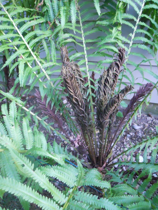 Fern with fertile blades