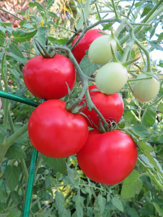 Patio tomatoes on the vine