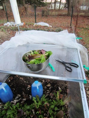 Cecily Frazier uses plastic jugs of water colored with blue food coloring in her cold frame which she says helps hold the heat in on sunnier days.