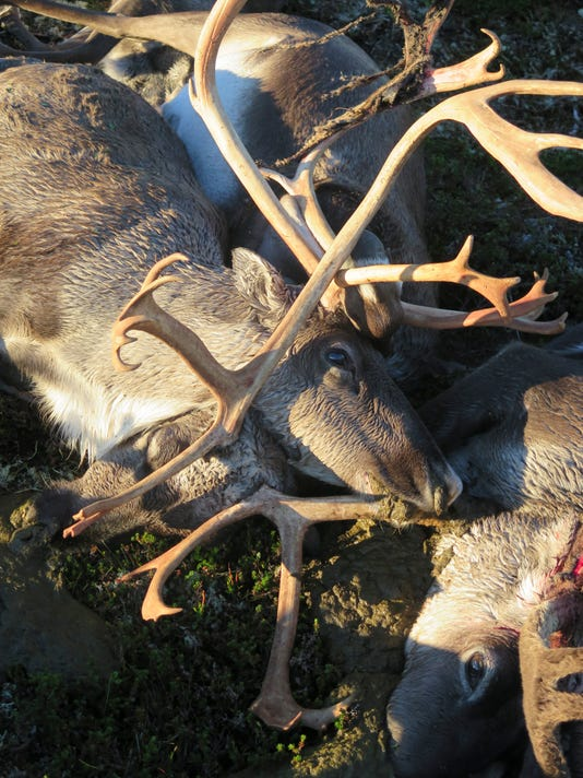 Reindeer-Killed.jpg