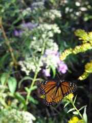 """A viceroy butterfly rests on a spray of goldenrod in Patoka River National Wildlife Refuge. Viceroy butterflies may be distinguished from Monarchs by the black """"v"""" found on their rear wings."""