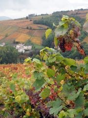 Gamay grapes go into France's famed Beaujolais wines.