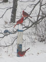Redbirds and a blue jay wait their turn at a bird feeder after the recent snow.