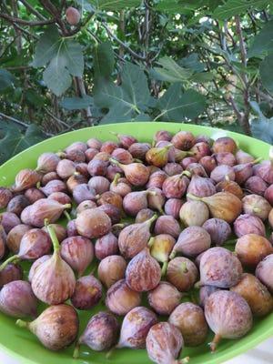 Freshly picked ripe figs from Celia Casey's garden.