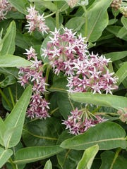 Flowers and leaves of showy milkweed, Asclepias speciosa.