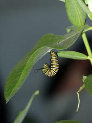 """A caterpillar spends a day in the """"J"""" form before changing"""