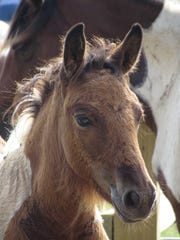 Chincoteague ponies in Virginia are a world-class attraction.