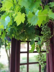 Grapes grow on an archway leading to the lawn area