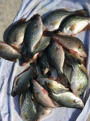 These speckled perch were caught in November 2017 with Capt. Nate Shellen of Okeechobee Bass Guide Service in Okeechobee, Florida, before toxic algae blooms endangered aquatic life.