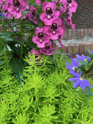 Angelface Perfectly Pink angelonia and Whirlwind Blue scaevola create a wonderful three-part or triadic harmony.