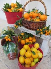 Citrus harvest.JPG