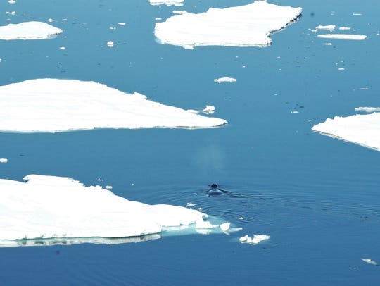 A bowhead whale surfaces among ice floes in Fram Strait. Photo courtesy of University of Washington.