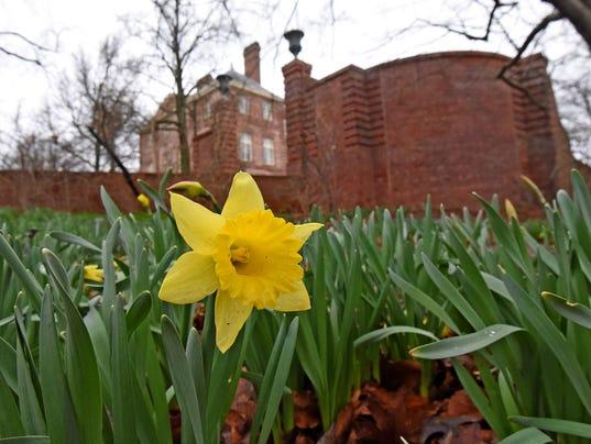1 Kingwood-Daffodil.jpg