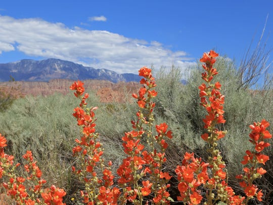 Globe Mallow grows along the Mill Creek Trail in the Red Cliffs Desert Reserve north of Washington City.