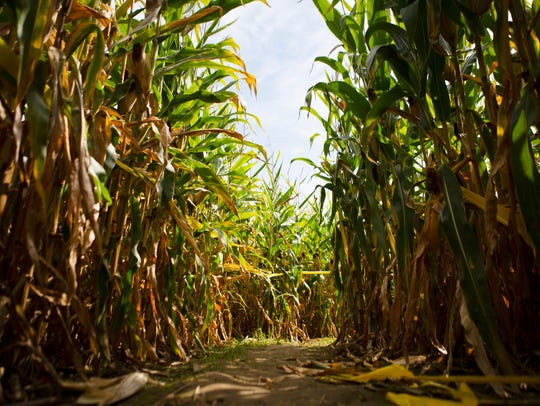 A pathway leads through the corn maze at Wickham Farms