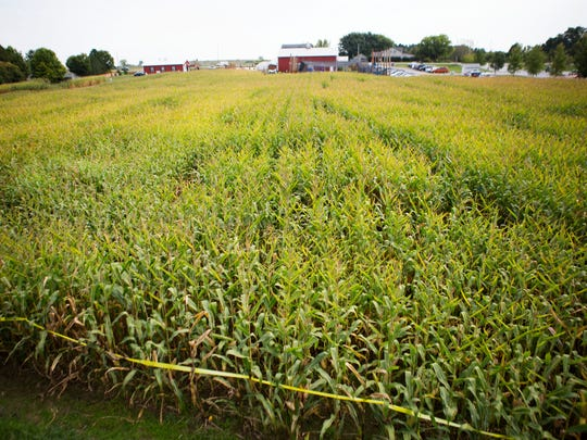 An overview of the corn maze at Wickham Farms in Penfield