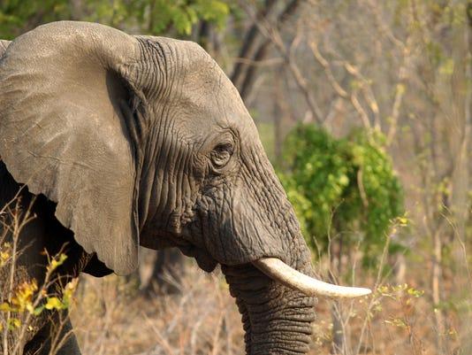 AP ZIMBABWE ELEPHANTS POISONED I ZWE