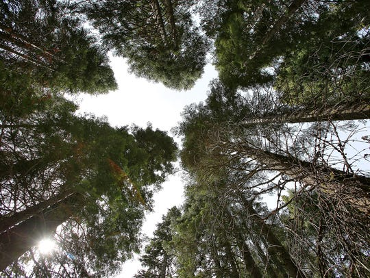 White firs and incense cedars tower above the forest