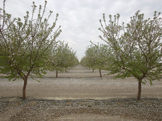 A drip irrigation system waters an almond orchard at Terranova Ranch in Helm, California.