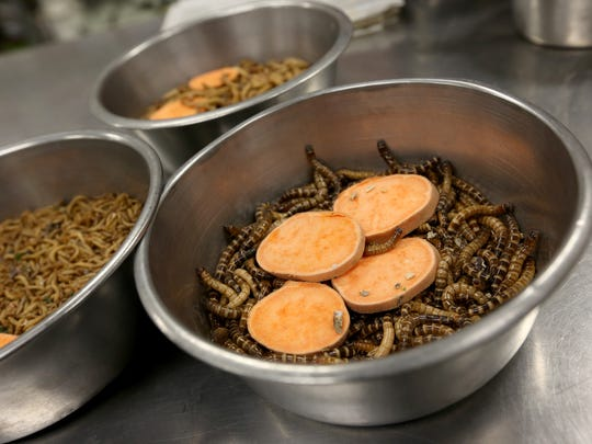 A bowl of yams and worms is prepped for animals at the Living Desert Zoo on Wednesday, July 13, 2016.