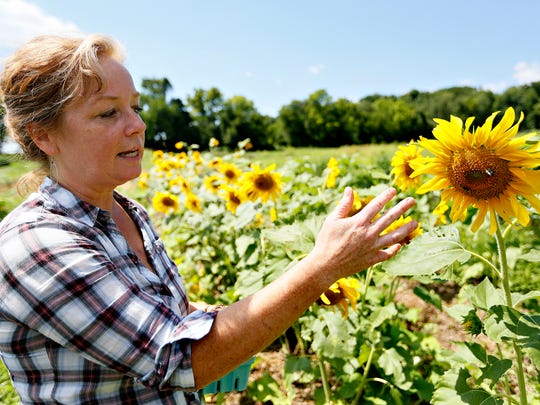 Horn Farm Center for Agricultural Education Executive Director Alyson Earl talks about sunflowers in the incubator farm project section of the center in York Township, Tuesday, Aug. 23, 2016. Dawn J. Sagert photo