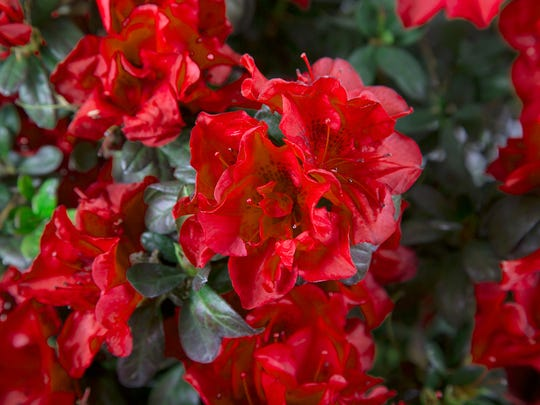 Autumn Fire, the newest Encore reblooming azalea, is