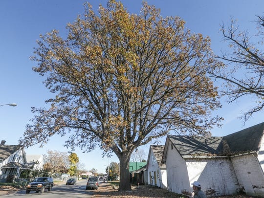 The bur oak located at 10th and Gale in Indianapolis is one of Jack Clarke's favorites in the city.