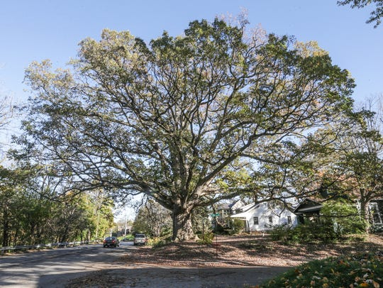 The Temple Oak, a near 400-year-old tree and almost