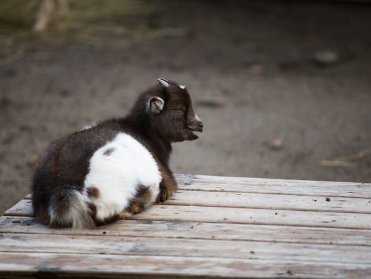 A baby goat at the Binghamton Zoo at Ross Park.
