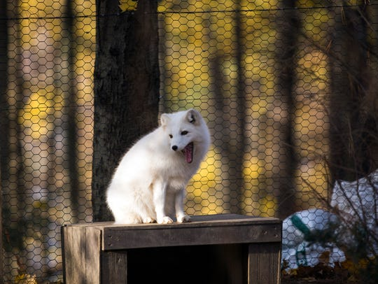 An Arctic Fox yawns at the Binghamton Zoo at Ross Park.