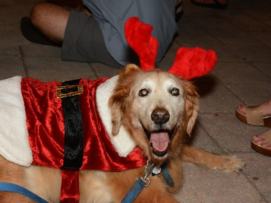 Golden retriever Buddy has attained the ripe old age of 13. The Christmas Island Style Canine Christmas Parade filled the Esplanade with dolled up dogs on Tuesday evening.