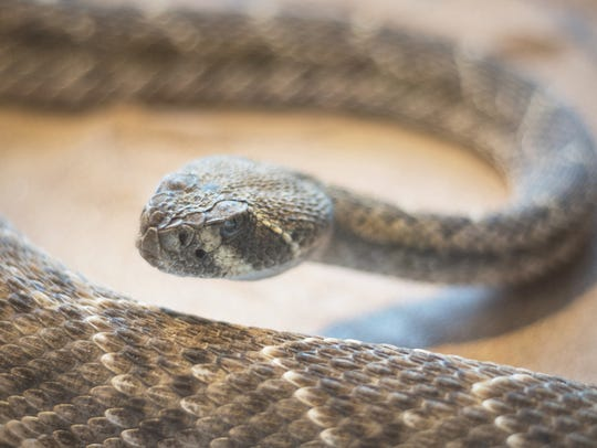 Diamondback rattlesnake: One of 13 species of rattlesnake