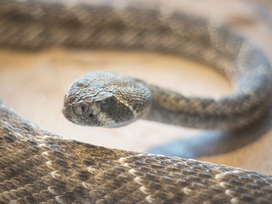 Diamondback rattlesnake: One of 13 species of rattlesnake in Arizona. Named for the prominent diamond pattern on its back.