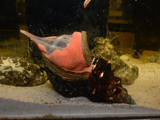 File: A horse conch slowly devours a lighting whelk in the Environmental Learning Center touch tank.
