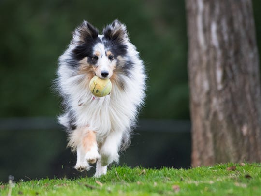 Gracie, a Sheltie, retrieves a ball for her owner at the dog park near the Pavilion Recreation Complex in Taylors on Monday, February 27, 2017.