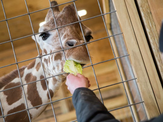 Animal caretaker and secondary giraffe keeper Corey Dwyer feeds April as she waits to deliver her baby at Animal Adventure in Harpursville on Monday, March 13, 2017.