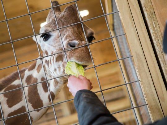 Animal caretaker and secondary giraffe keeper Corey