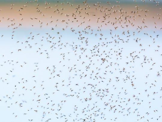 Mosquitoes swarming in the air at summer.