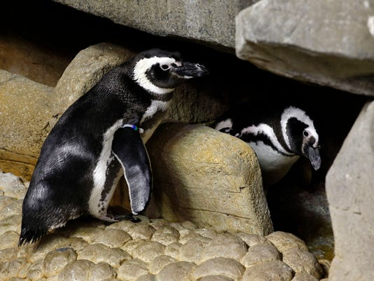 Penguin love triangle at Shedd Aquarium