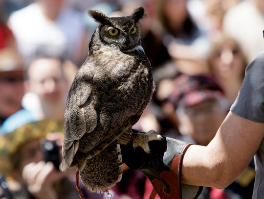Newton, a great horned owl, from the Ojai Raptor Center was shown during 2017 Owl Festival at the Olivas Adobe in Ventura.