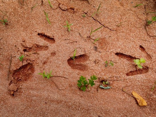 Turkey and deer tracks imprinted in the dirt May 18, 2017 on land near Little White Oak Mountain that was recently preserved.