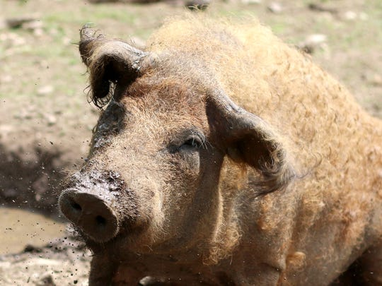 Eighteen of these mangalitsa pigs live at the farm