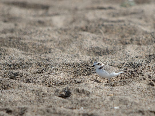 A snowy plover is seen along Ormond Beach in Oxnard .